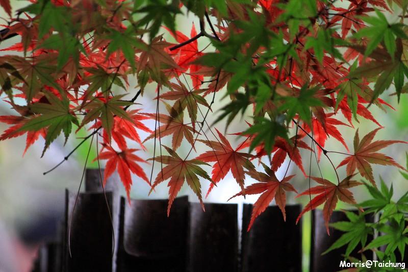 2011 福壽山楓葉 (63)