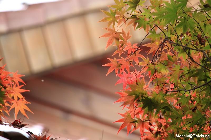 2011 福壽山楓葉 (44)