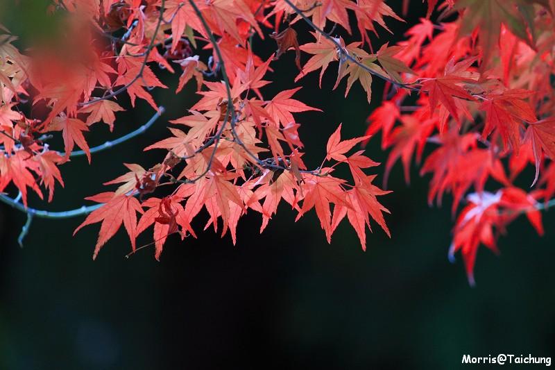 2011 福壽山楓葉 (23)