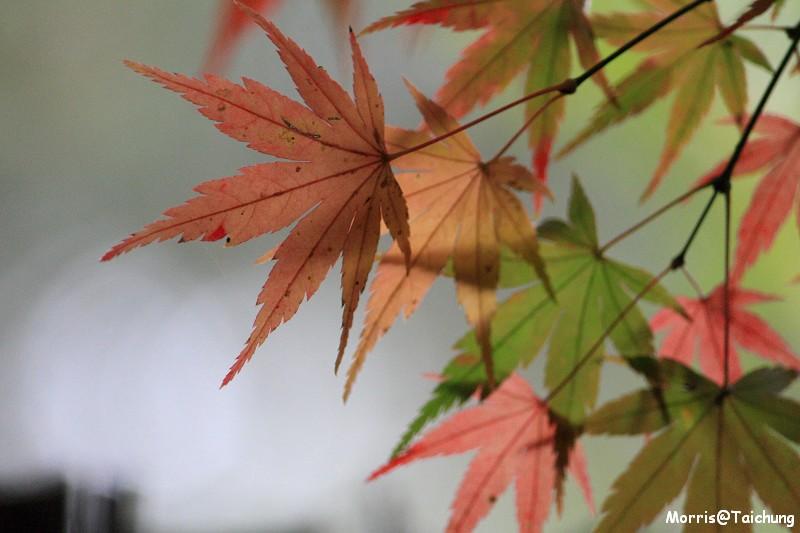 2011 福壽山楓葉 (50)