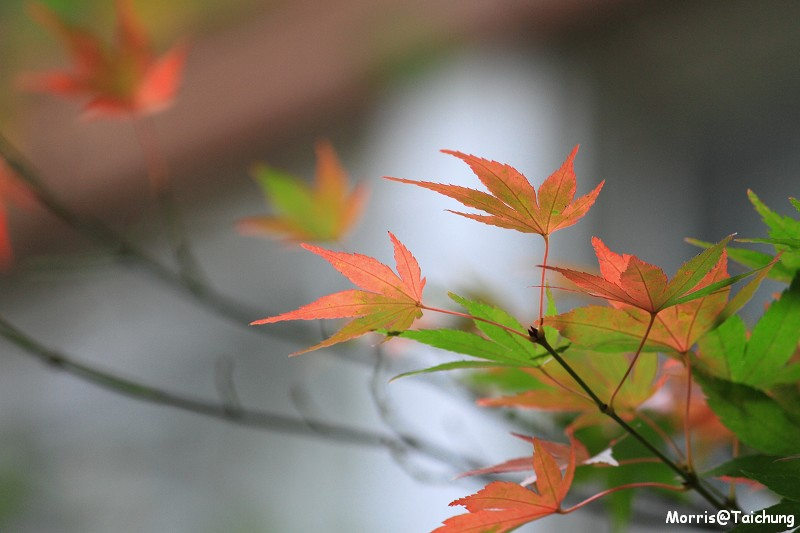 2011 福壽山楓葉 (55)