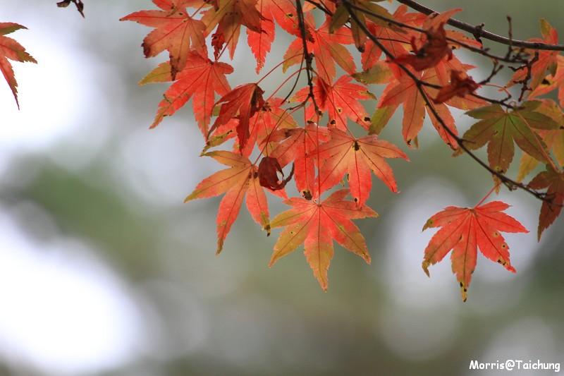 2011 福壽山楓葉 (28)