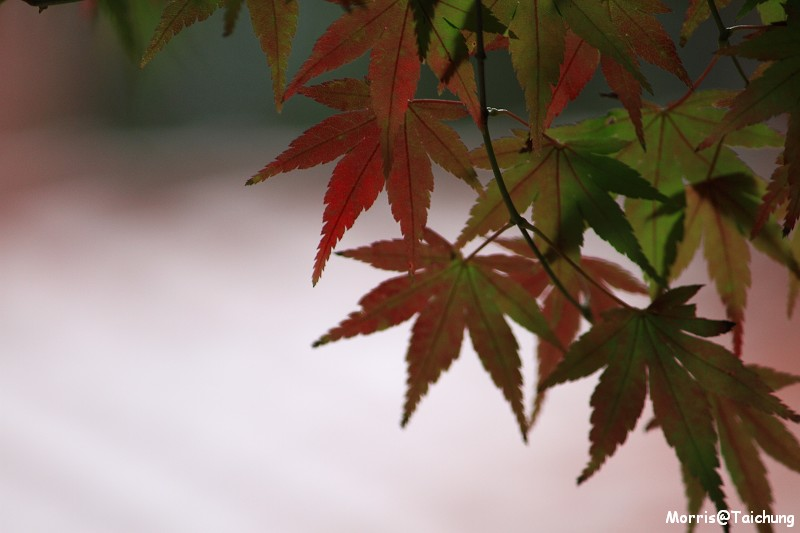 2011 福壽山楓葉 (30)