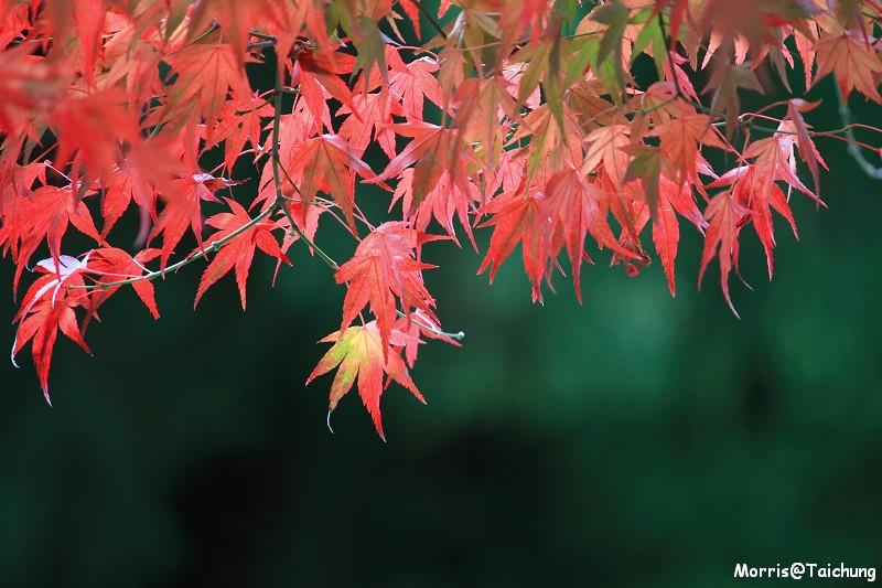 2011 福壽山楓葉 (22)