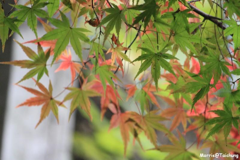 2011 福壽山楓葉 (61)