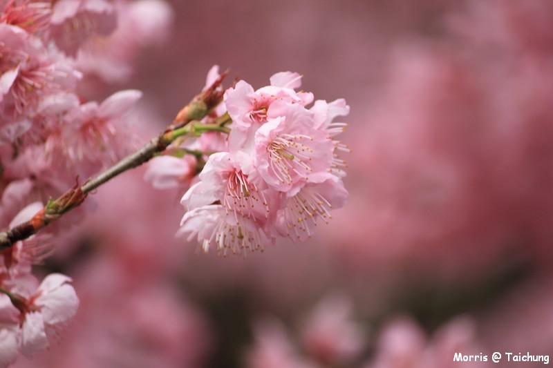 2012 武陵櫻花季 (7)
