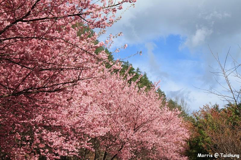 2012 武陵櫻花季 (39)
