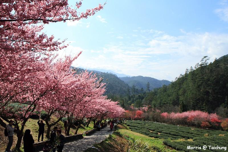 2012 武陵櫻花季 (83)