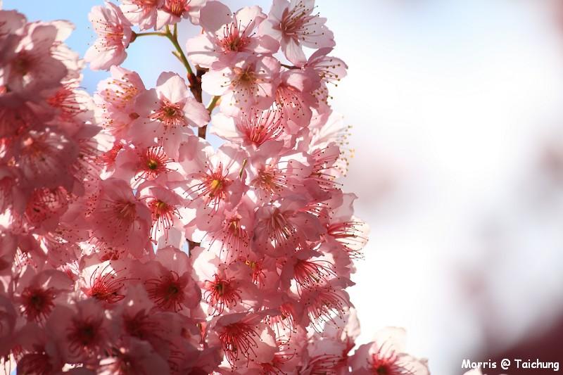2012 武陵櫻花季 (57)