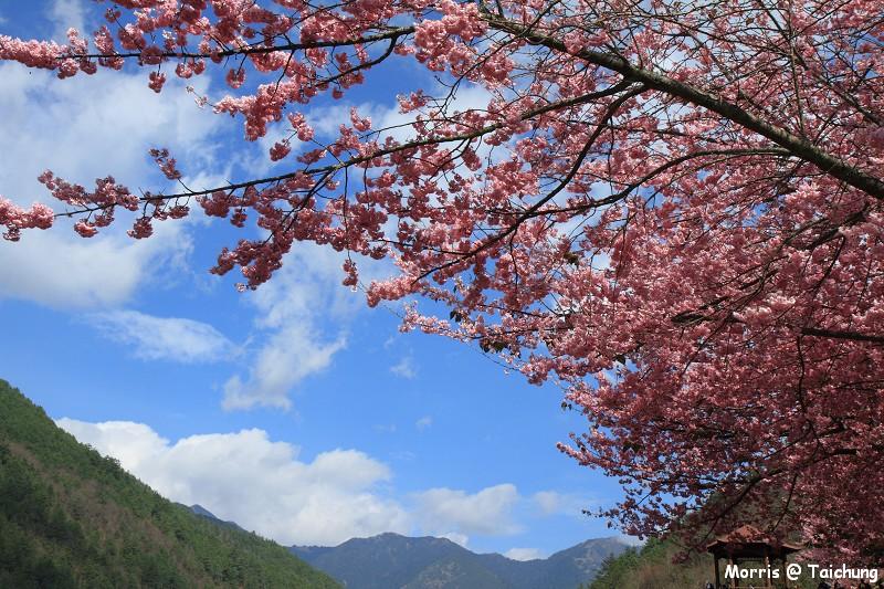 2012 武陵櫻花季 (76)
