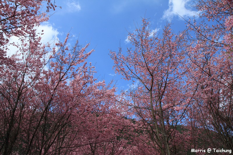 2012 武陵櫻花季 (92)