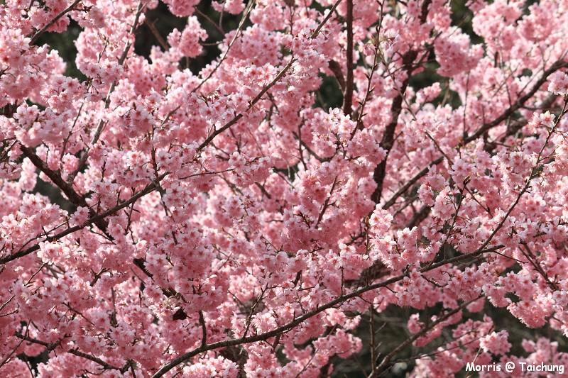 2012 武陵櫻花季 (66)
