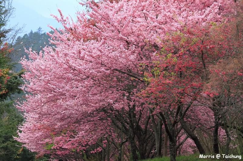 2012 武陵櫻花季 (16)