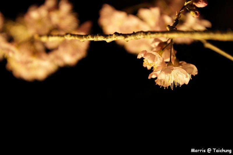 2012 武陵櫻花季 (4)