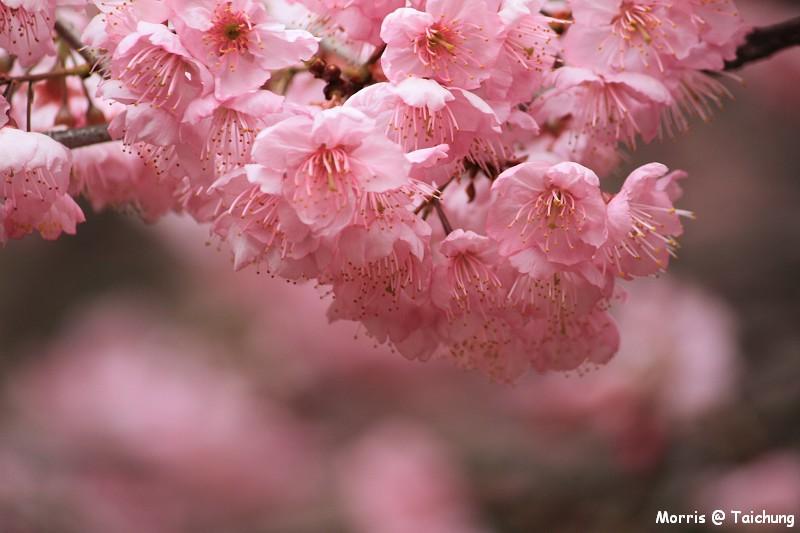 2012 武陵櫻花季 (19)