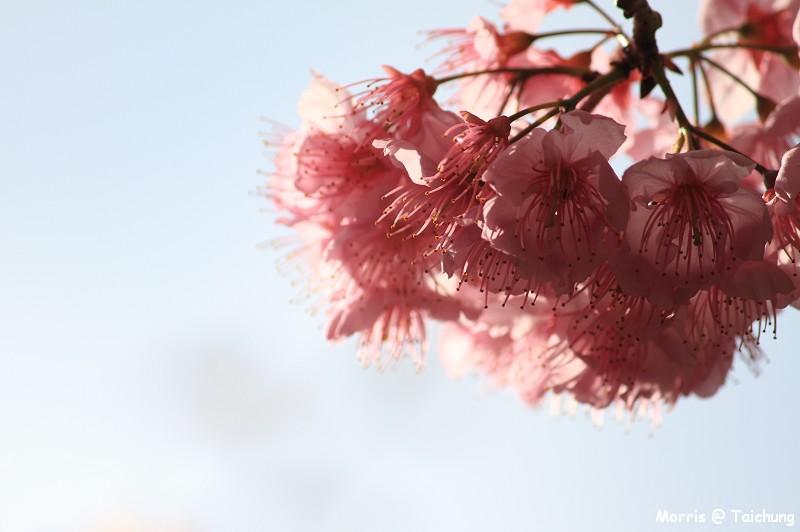 2012 武陵櫻花季 (29)