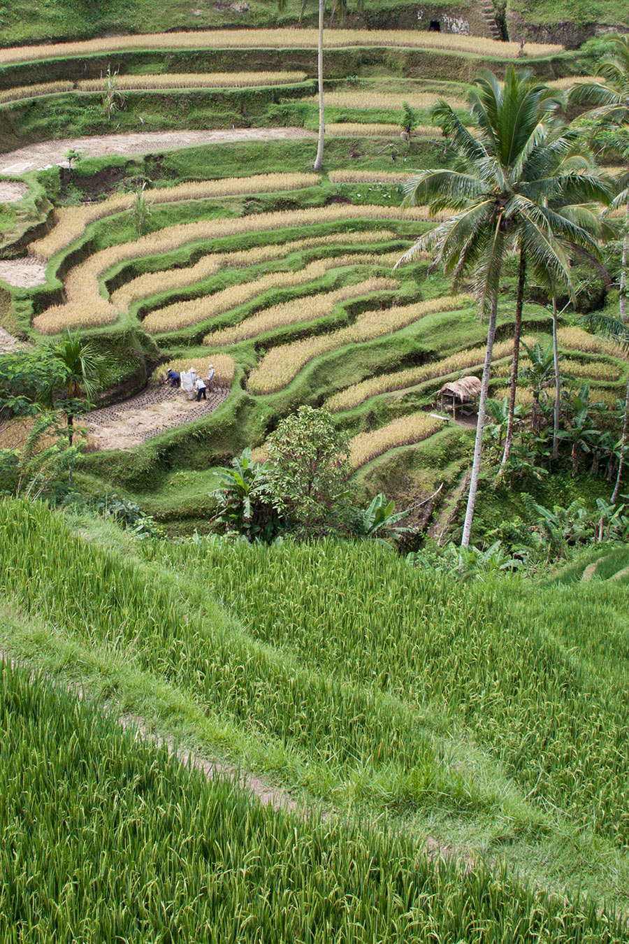 Terraced rice paddies in Bali.