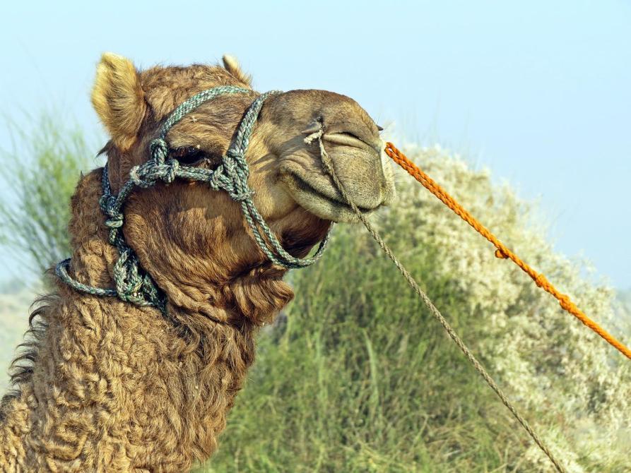 Kamel in der Thar, Jaisalmer