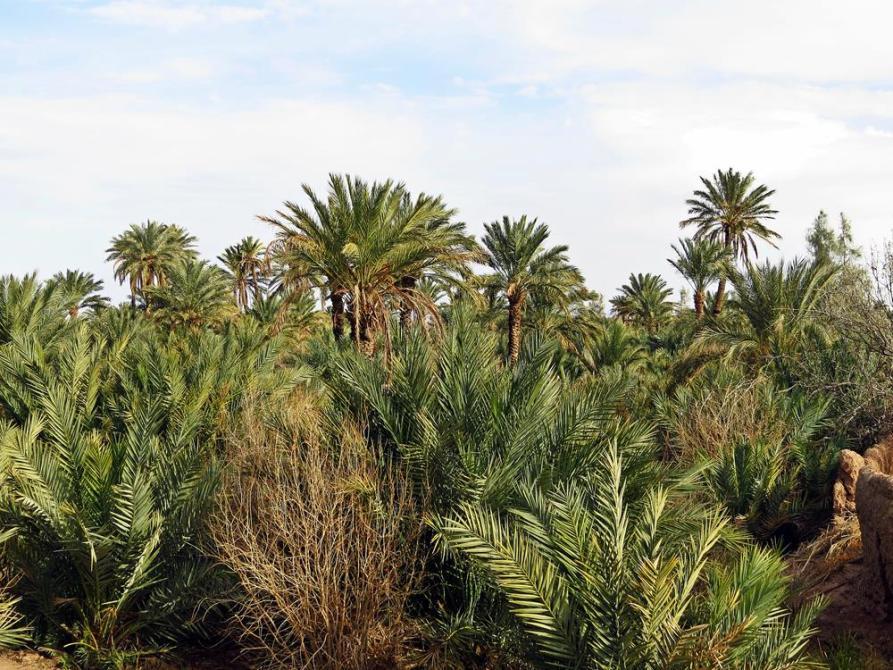Dattelplantage, Garmeh, Iran