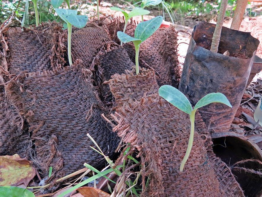 Kürkissetzlinge in Taschen aus Kokosfasern, Auroville