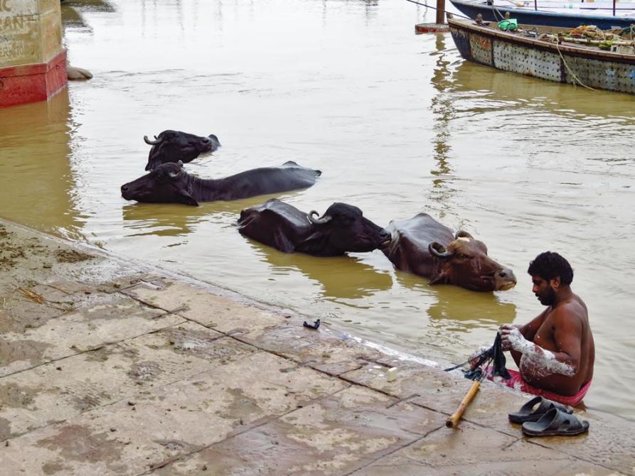 Wasserbüffel nehmen ein Bad im Ganges, Varanasi