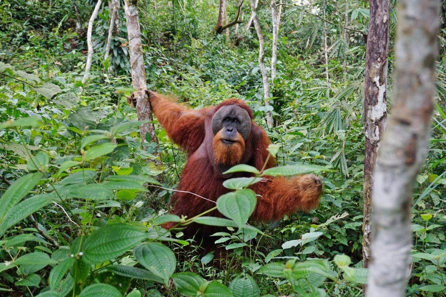 Orang-oetans in Gunung Leuser National Park