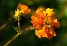 Orange flower copy