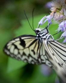 butterfly drinking copy