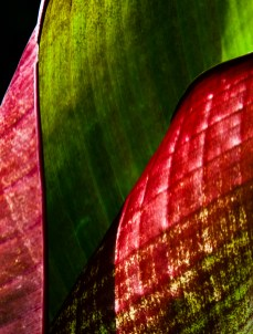 MaryMehl2 canna leaf
