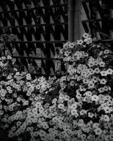 Mary Mehl - B&W petunias