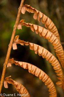 dheaton - Cinnamon Fern
