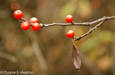 dheaton - Winterberry 2