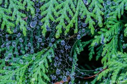 Catherine Pawlik ~ Dew on Evergreen