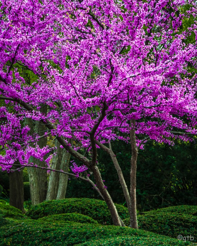 Greg Blue ~ Redbud