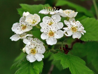 Riesbeck A 2 White Flower