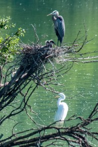 Great Blue Heron & Great Egret