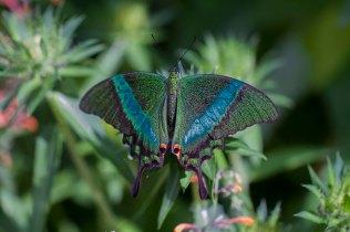 Dulcey Lima 1 Swallowtail