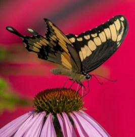 Thos Swallowtail