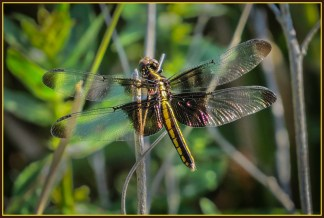 PehrsonB_6_Dragonfly