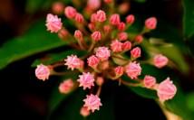 Kalmia latifolia (Mountain Laurel)