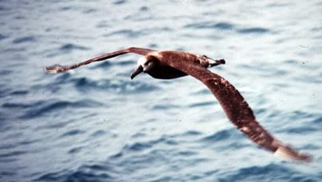 Mlody albatros