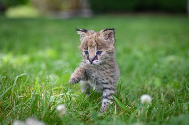 Africal Serval Cat