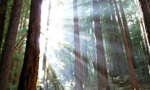 Muir_Woods_National_Monument 3