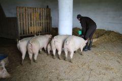 mosauerin innviertel blog schweine direktvermarkter