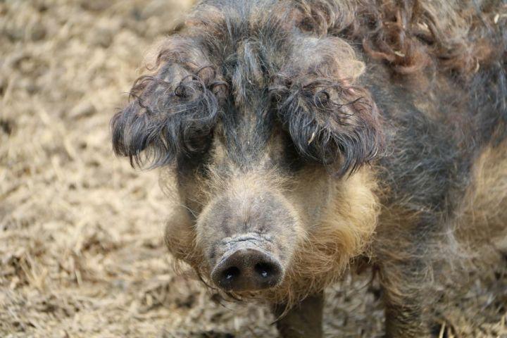 Simandls Schweine im Glück