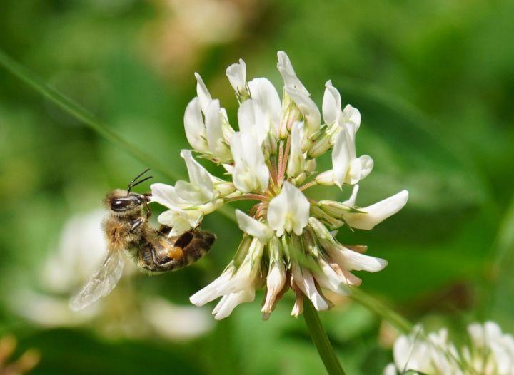 Die Wildbienenkönigin – Warum es cool ist, Wildbienen zu haben