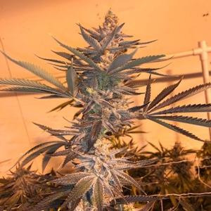 dayger-cannabis-seeds