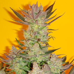 old time moonshine indica cannabis seeds
