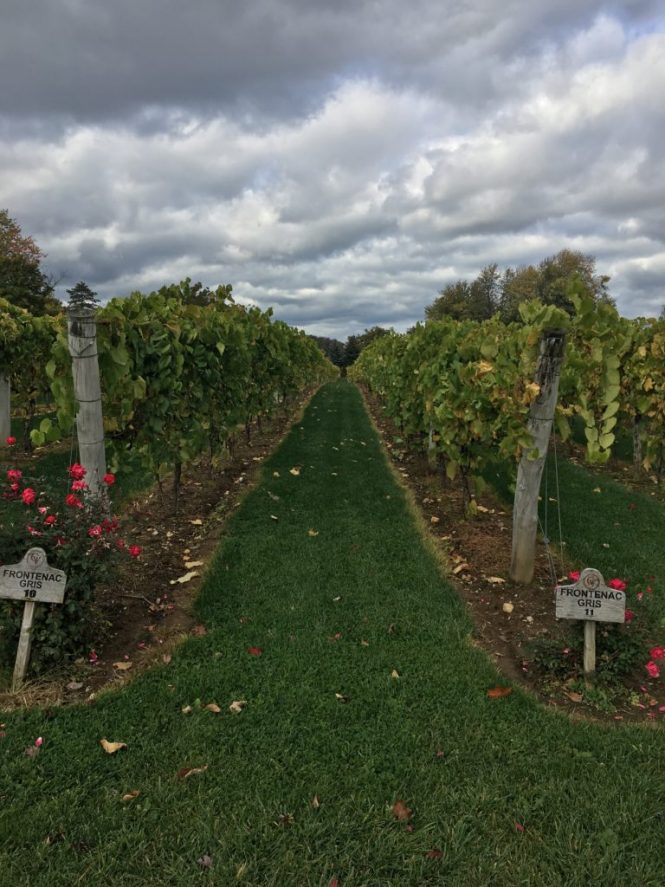 Gervasi grape vineyard
