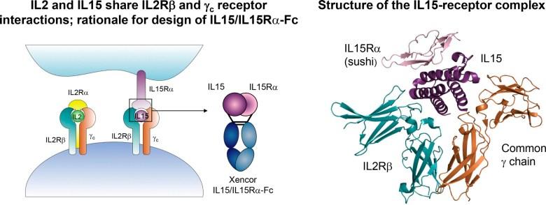 Roche изучит лечение рака при помощи интерлейкина 15